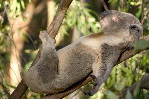 Koala sleeping in sun